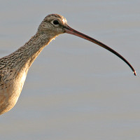 Long-billed Curlew- Numenius americanus