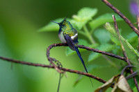 Wire-crested Thorntail (Discosura popelairii)