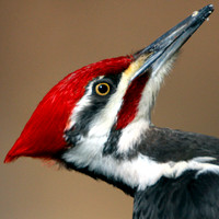 Woodpeckers -  - Picidae