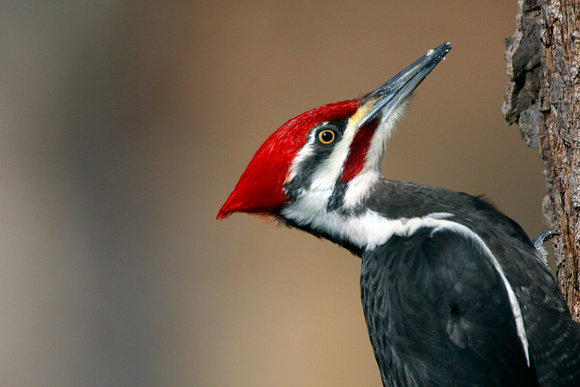 Pileated Woodpecker (Dryocopus pileatus) male