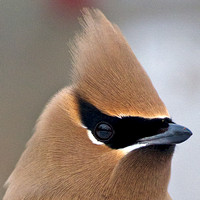 Waxwings and their allies, tits & penduline tits