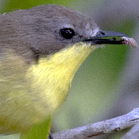 Acanthizidae - Australasian Warblers, Pachycare