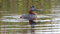 Great Grebe- Podiceps major