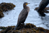 Great Cormorant (Phalacrocorax carbo) also known as Great Black Cormorant, Black Cormorant, Black Shag