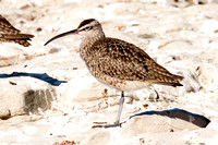 Whimbrel- Numenius phaeopus