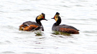 Eared Grebe (Podiceps nigricollis) also known as Black-necked Grebe