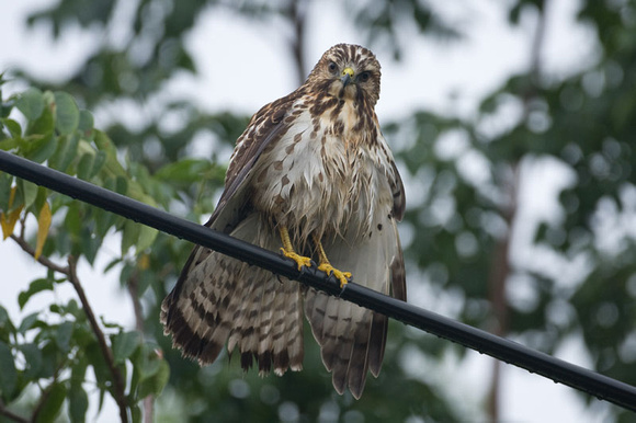 Pin Broad Winged Hawks Flying Tree Ofitems Of Red Tail ...