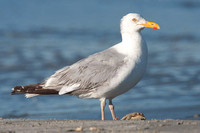 American Herring Gull (Larus smithsonianus) also known as Smithsonian Gull