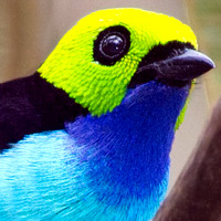 Thraupidae - Tanagers and allies