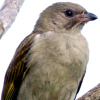 Honeyguides - Indicatoridae