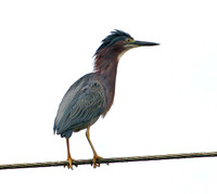 Green Heron- Butorides virescens