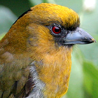 Prong-billed Barbet (Semnornis frantzii)
