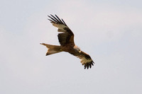 Red Kite- Milvus milvus