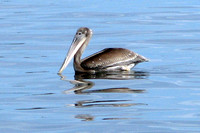 Brown Pelican (Pelecanus occidentalis) juvenile