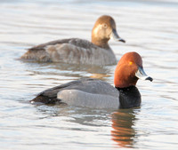 Redhead (Aythya americana) male and female