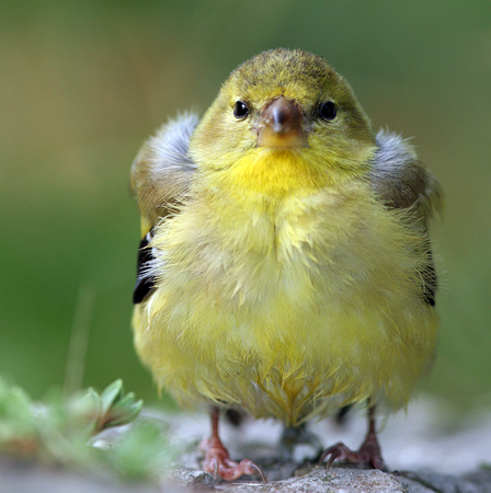 American goldfinch baby - photo#19