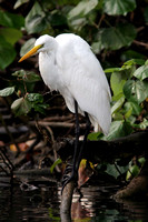 Great Egret (Ardea alba) also known as Great White Egret or Common Egret